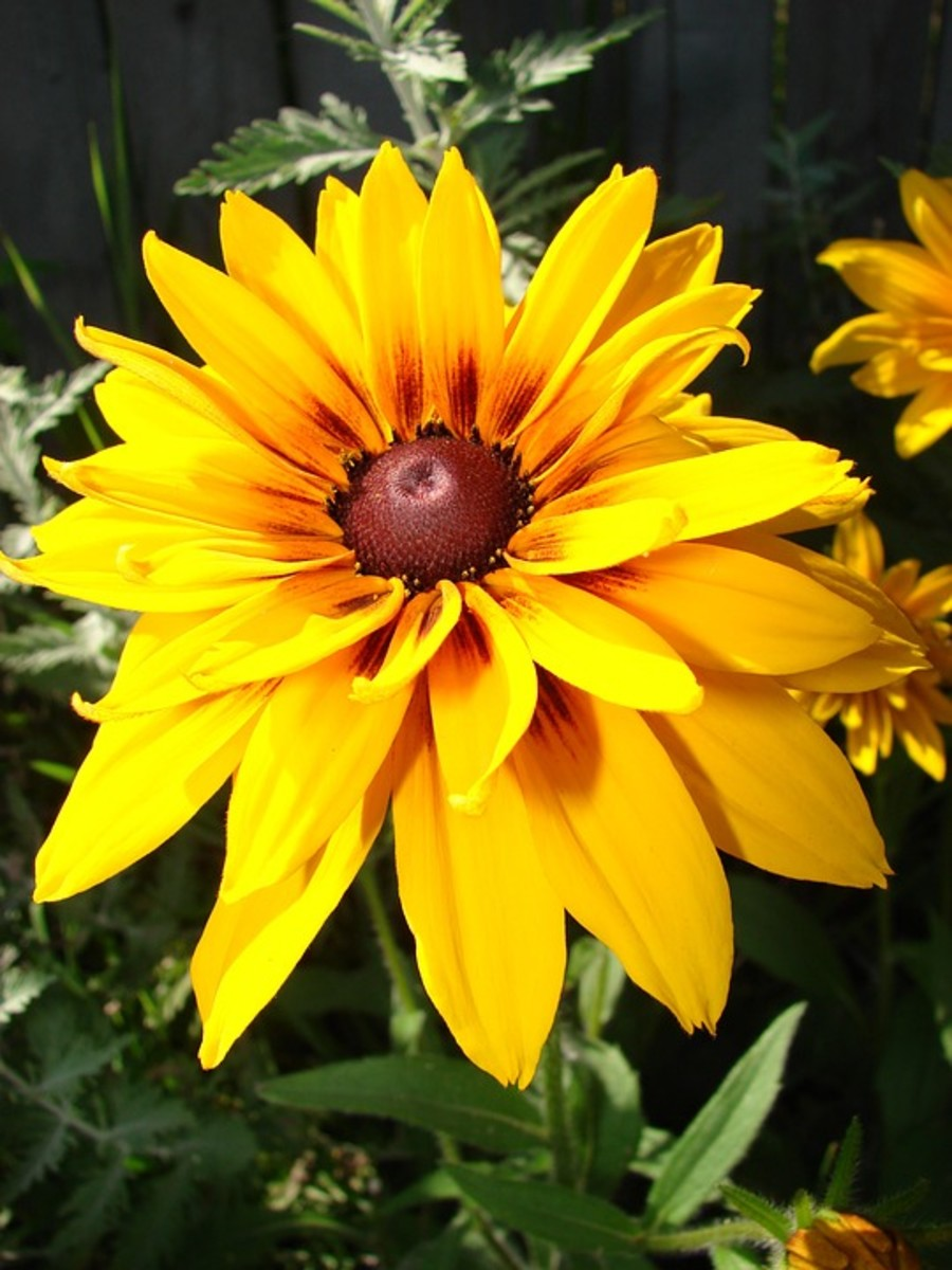 This is a black-eyed Susan with double petals and a brown halo.