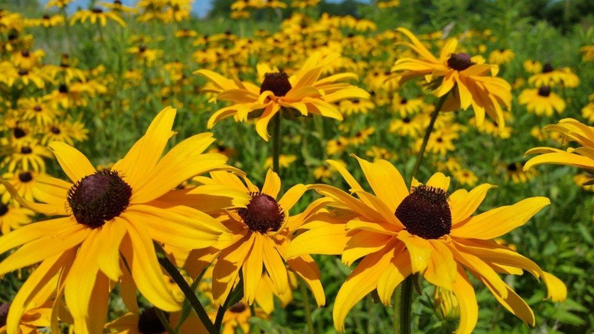 A field full of black-eyed Susans.
