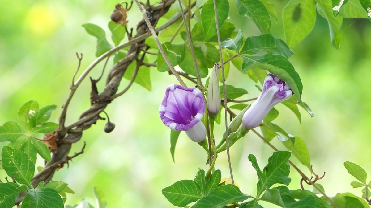 Morning glories use tendrils to climb