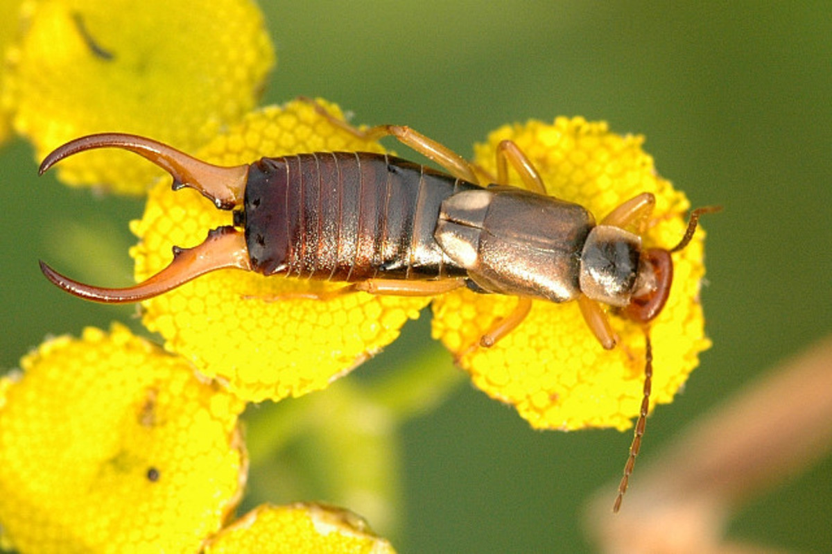 How to Get Rid of Earwigs in Your Home and Garden