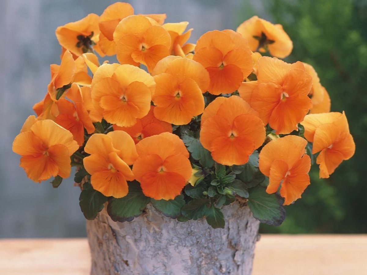 This is a radiant collection of nature orange pansies.