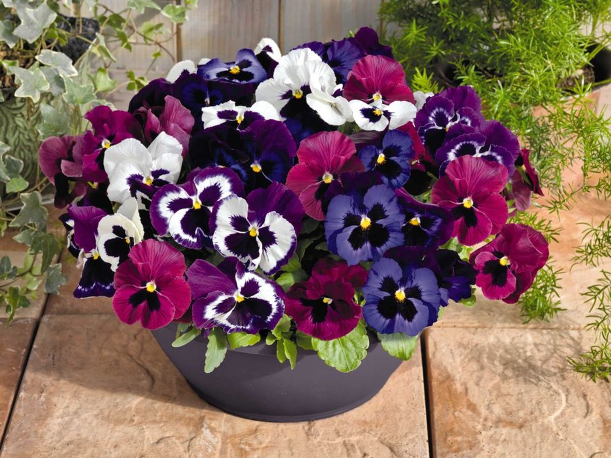 Care For Winter Blooming Pansies