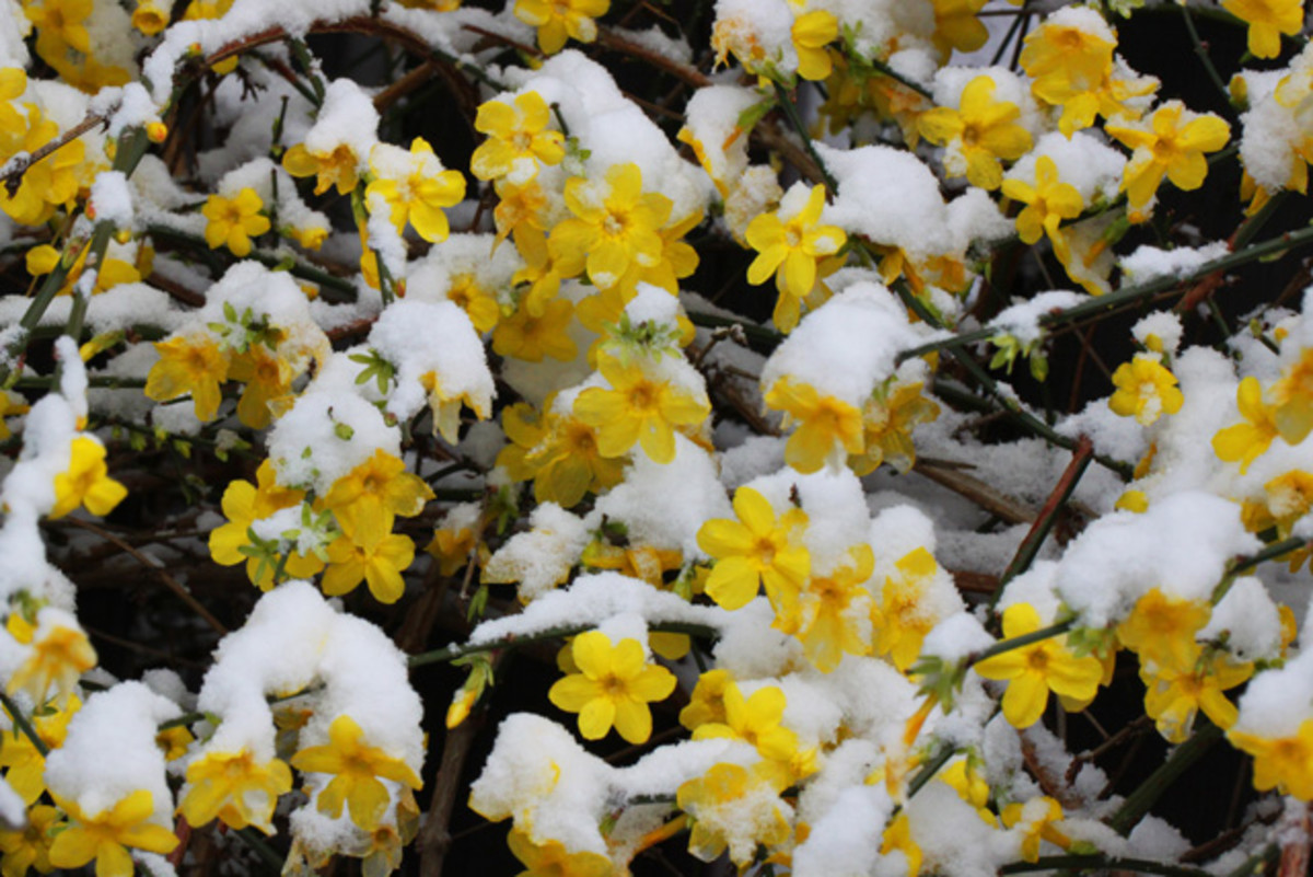 How to Plant and Care for Cold-Weather Blooming Winter Jasmine