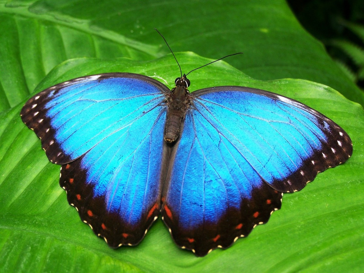 Beautiful, blue morphofalter butterfly.