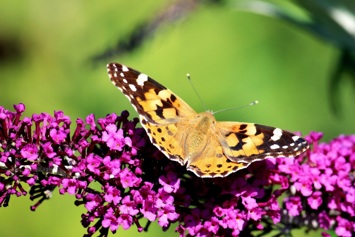 Butterfly visiting a purple butterfly bush.