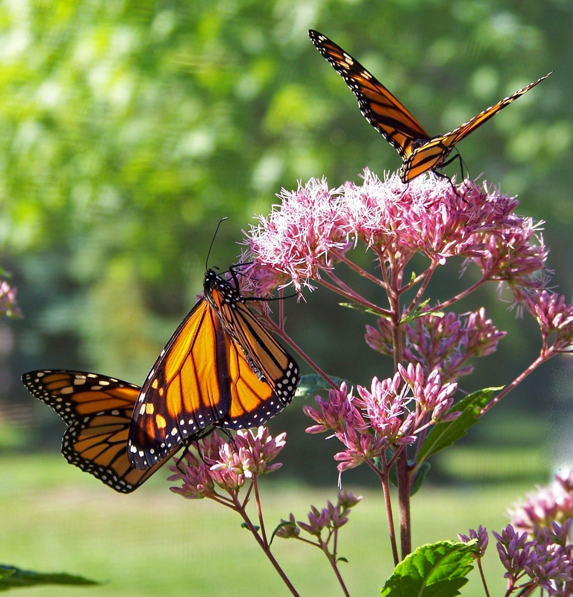 Multiple butterflies visiting the same bloom.