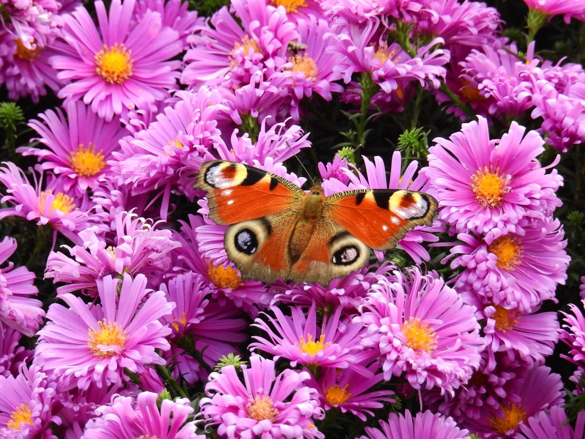 Butterfly visiting a cluster of asters.