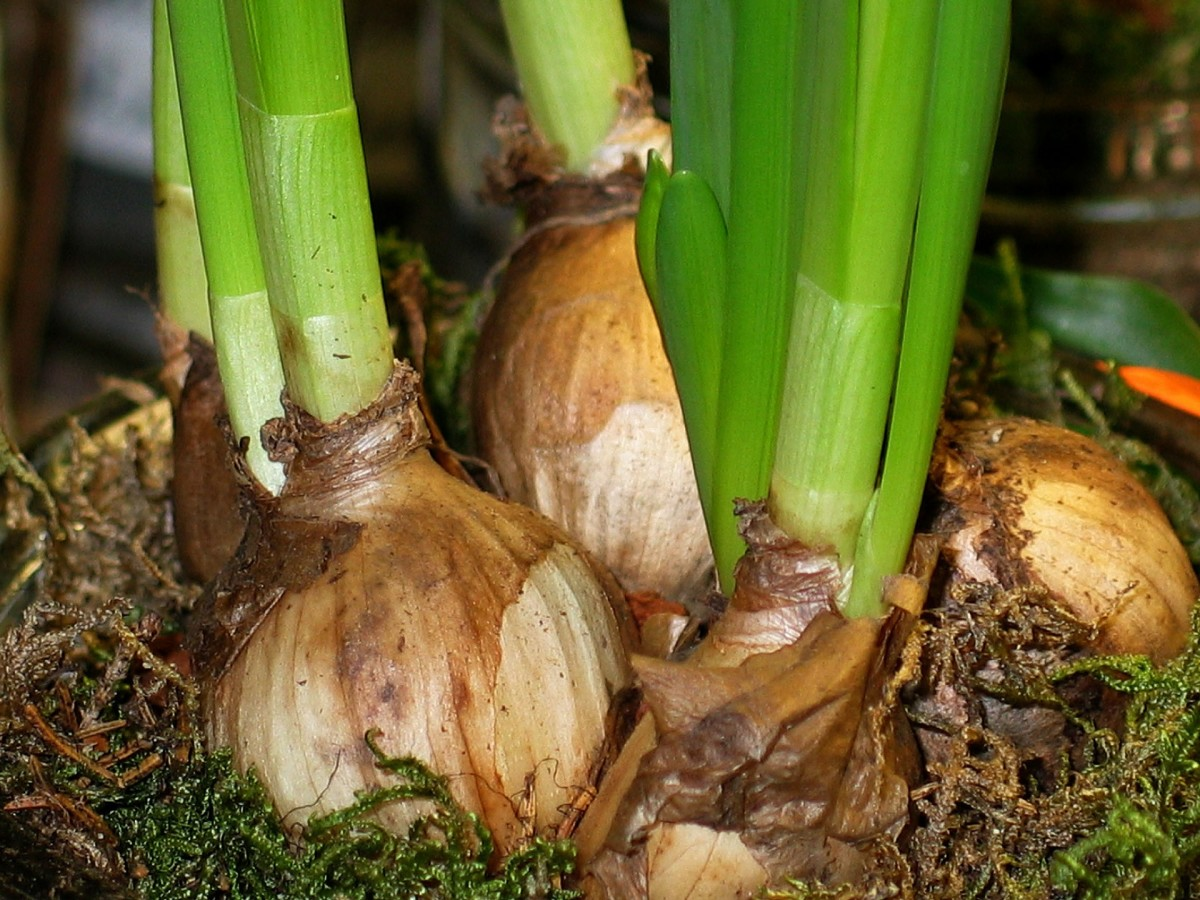 Onions are some of the most common true bulbs.