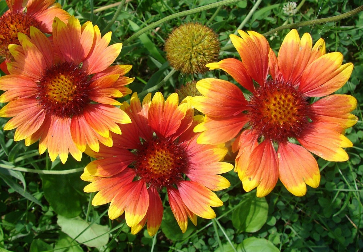 It's best to deadhead spent blooms from a gaillardia plant.