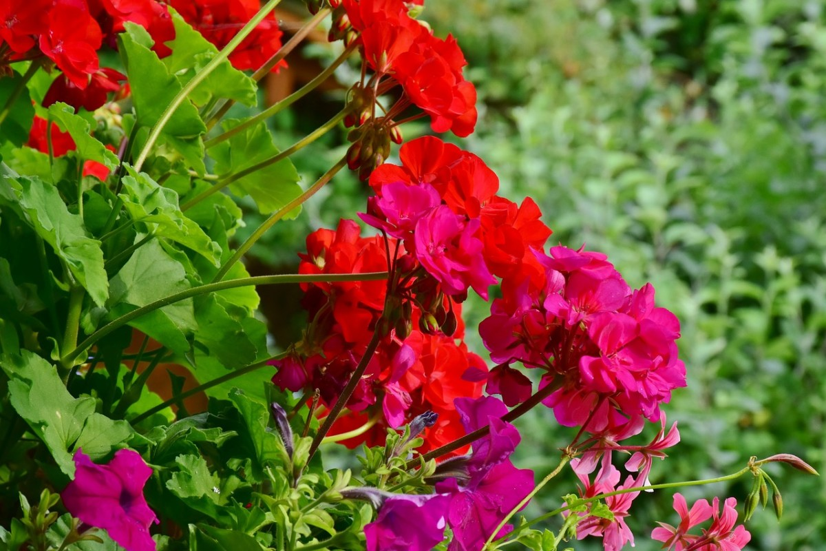 You can hard cut geraniums almost all the way to the ground once blooms are spent.