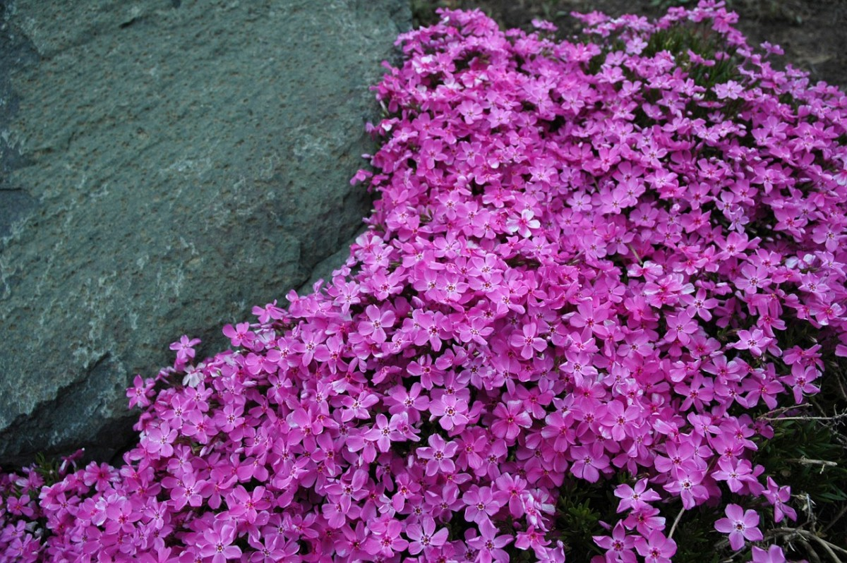 This creeping phlox is an example of a plant that would benefit from light shearing once the blooms have died down.