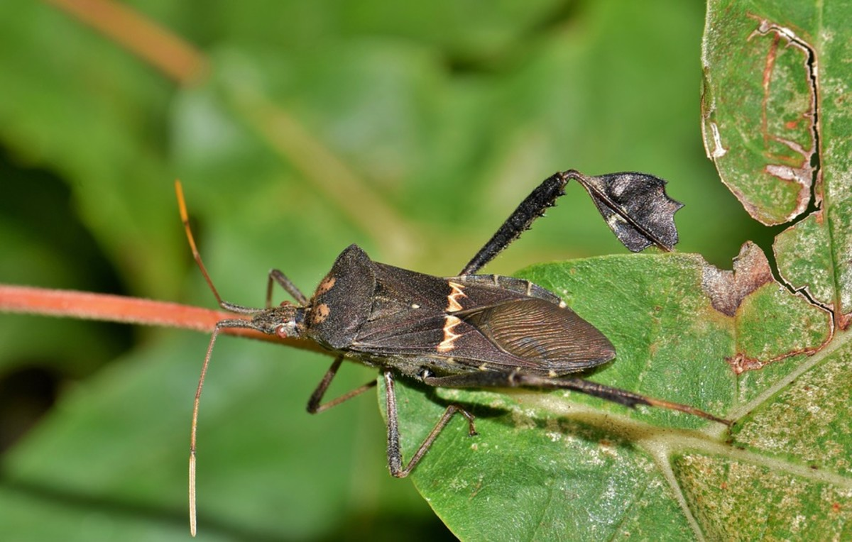 Adult leaf-footed bug. Notice the white pattern across the back and the leaf-like protrusions on the legs.