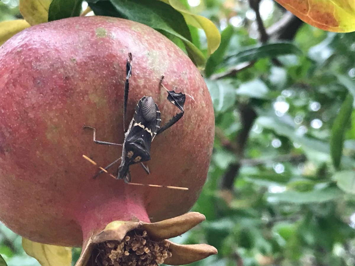 Adult leaf-footed bug (Leptoglossus zonatus) on my pomegranate.