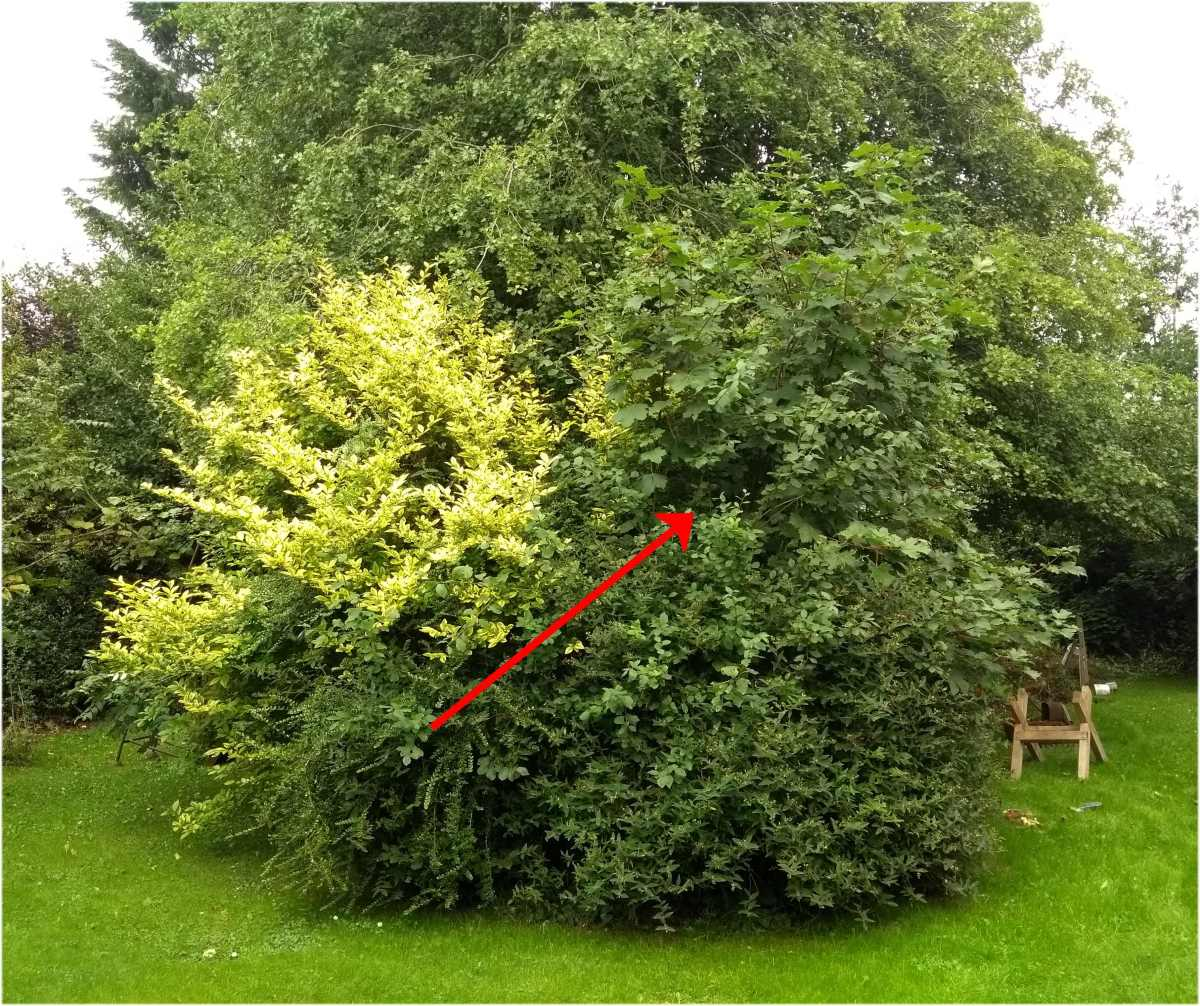 I'm going to remove this sycamore tree, buried in lots of other bushes