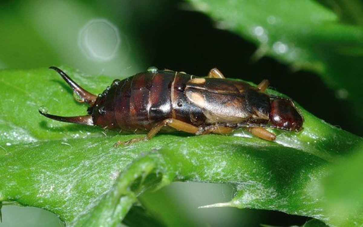 Control Earwig Damage in Your Vegetable Garden
