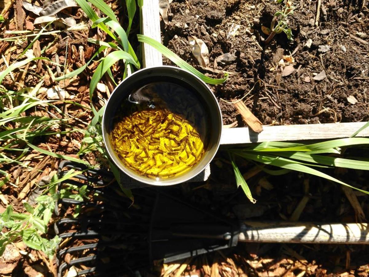 Control Earwig Damage in Your Vegetable Garden | Dengarden