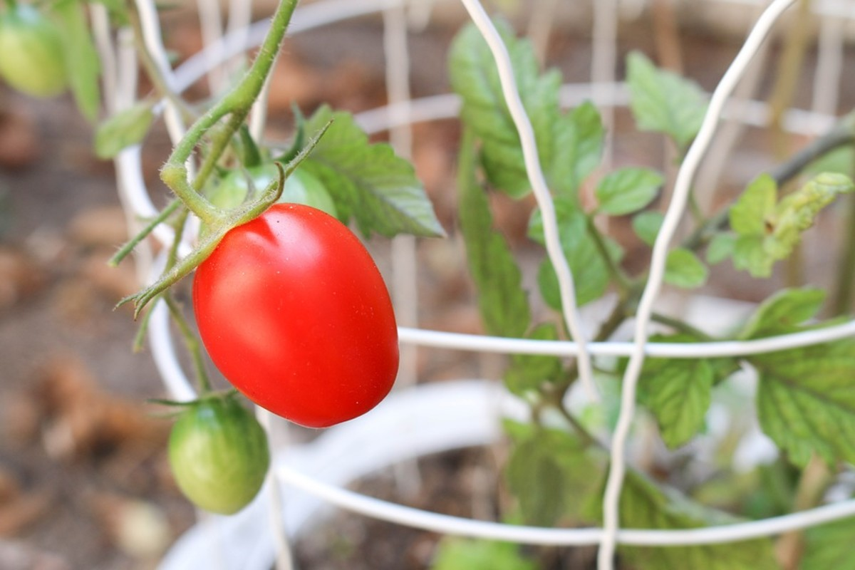 4 Easy Ways to Support Your Growing Tomatoes