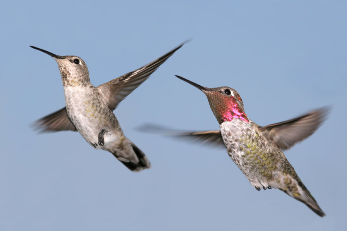 Female (left) and male (right) hummingbirds.