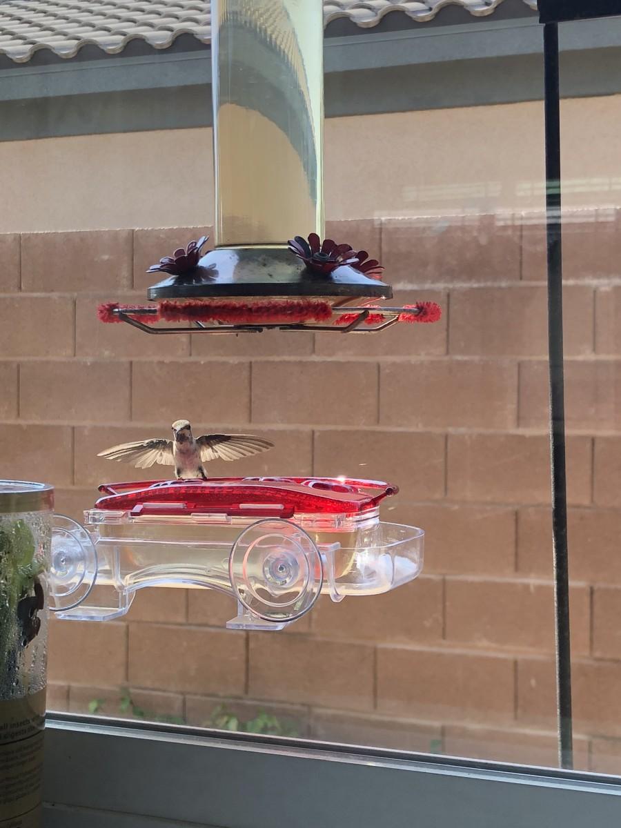 Hummer using window feeder.