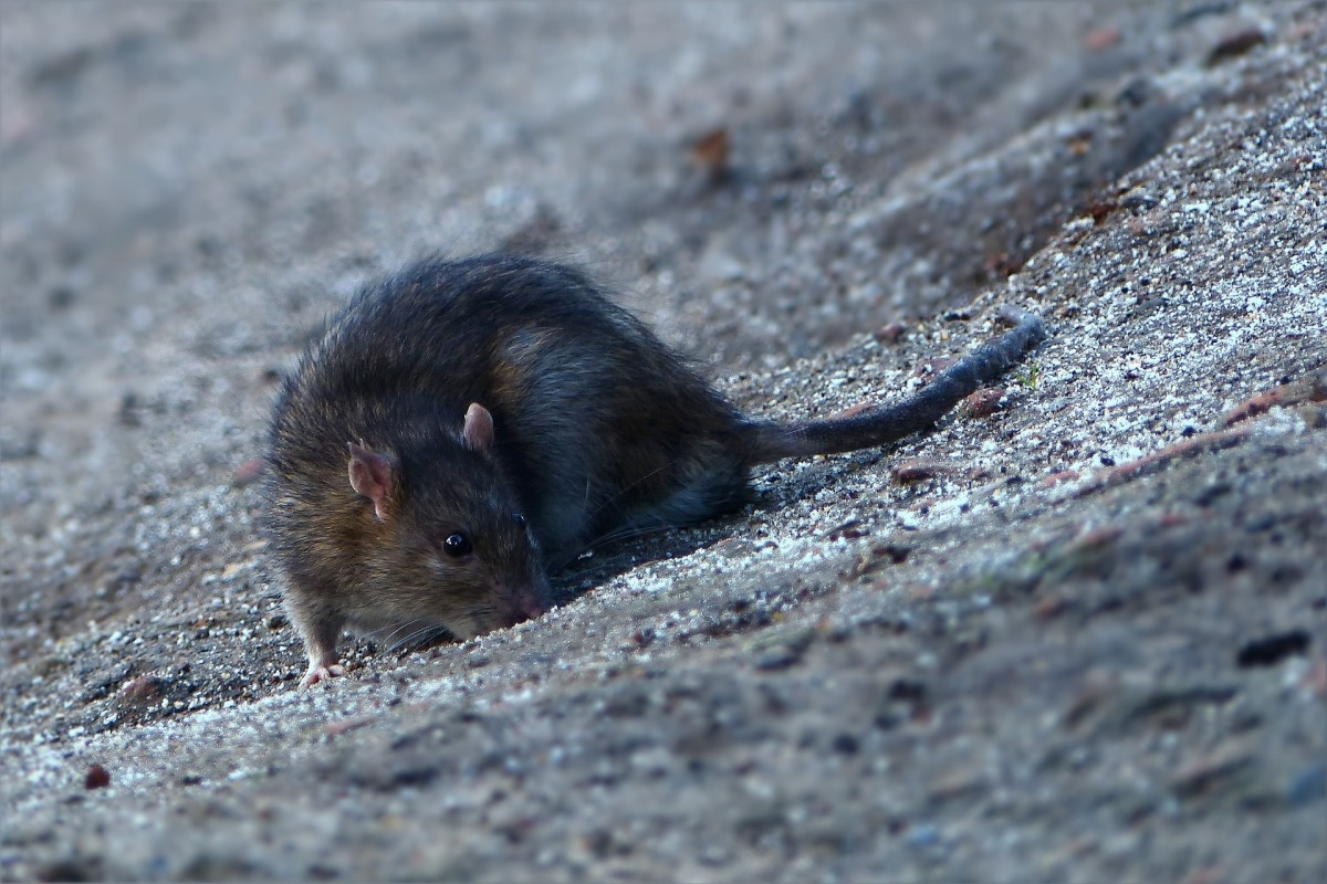 Your typical rodent; kind of cute, really.