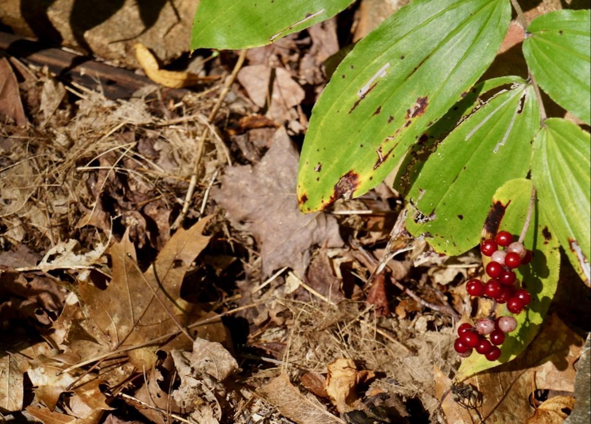 False Solomon's Seal berries.