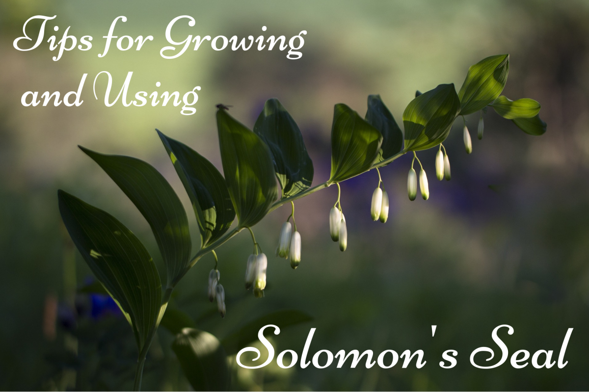 How to Grow and Use Solomon's Seal