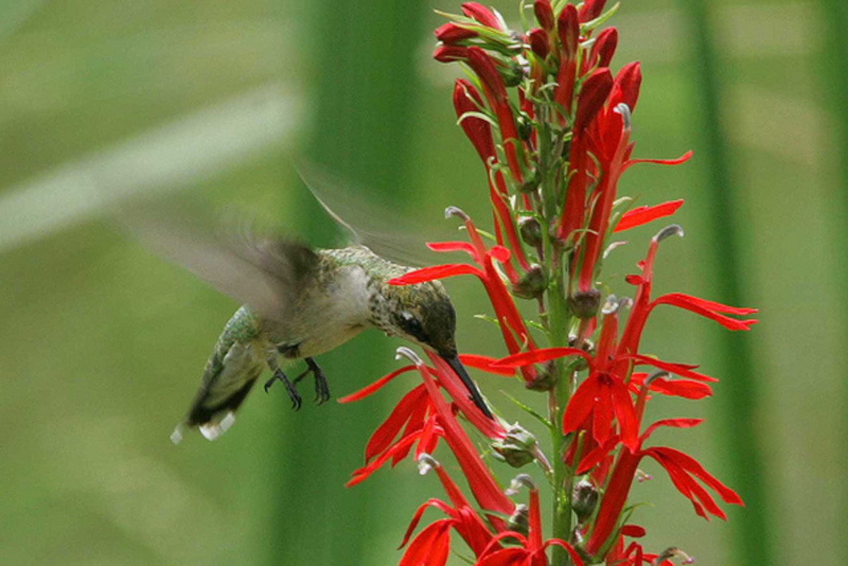 How to Grow Cardinal Flowers, a Native Plant