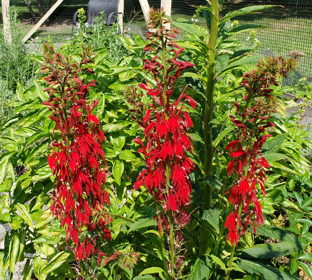 Cardinal flowers growing in a garden.