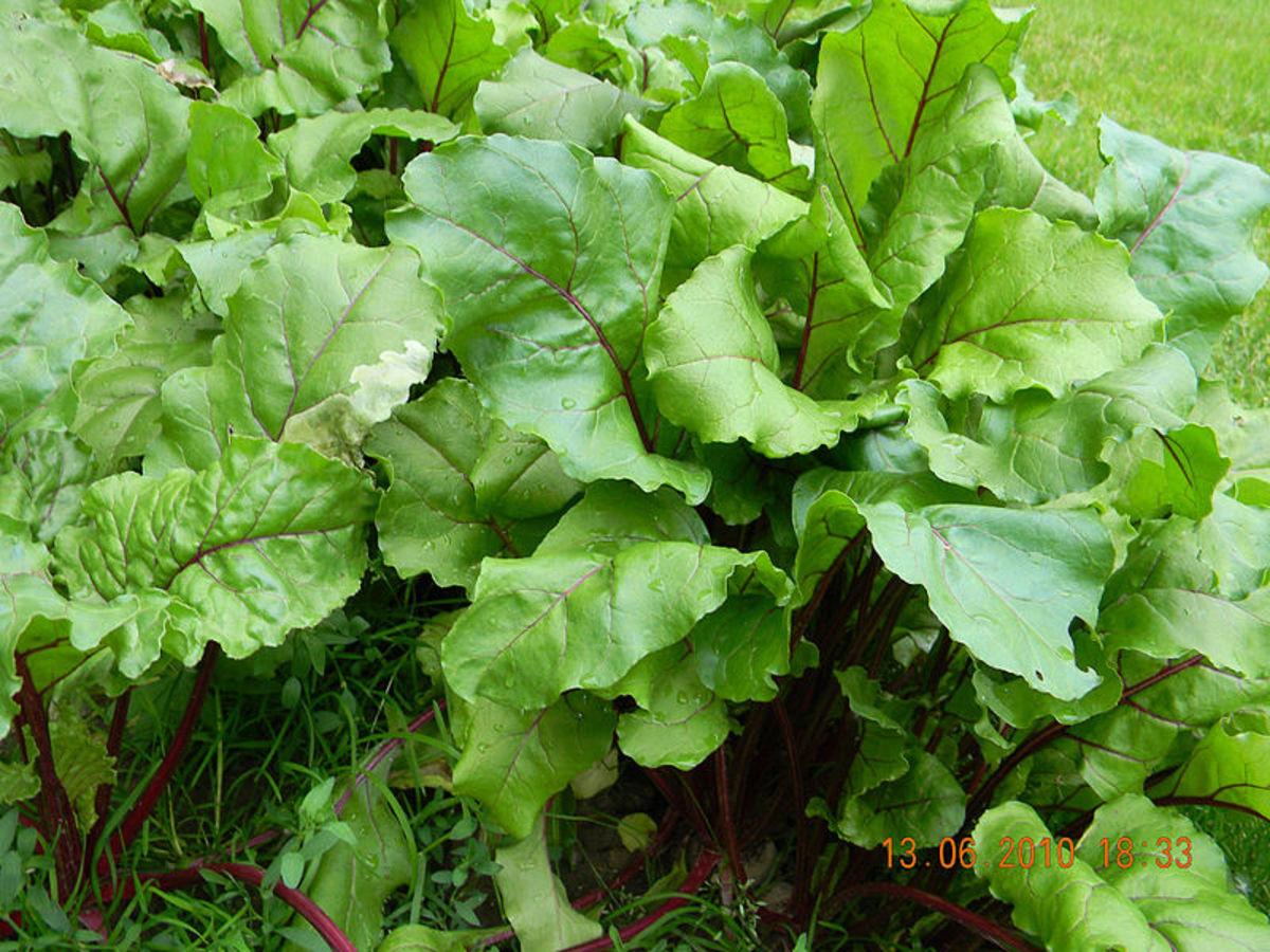 Beet Foliage
