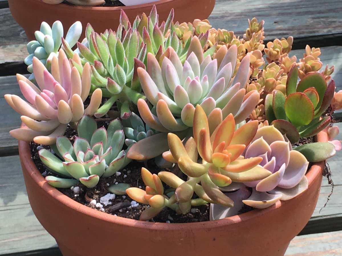 Example of a potted succulent available from a local nursery.
