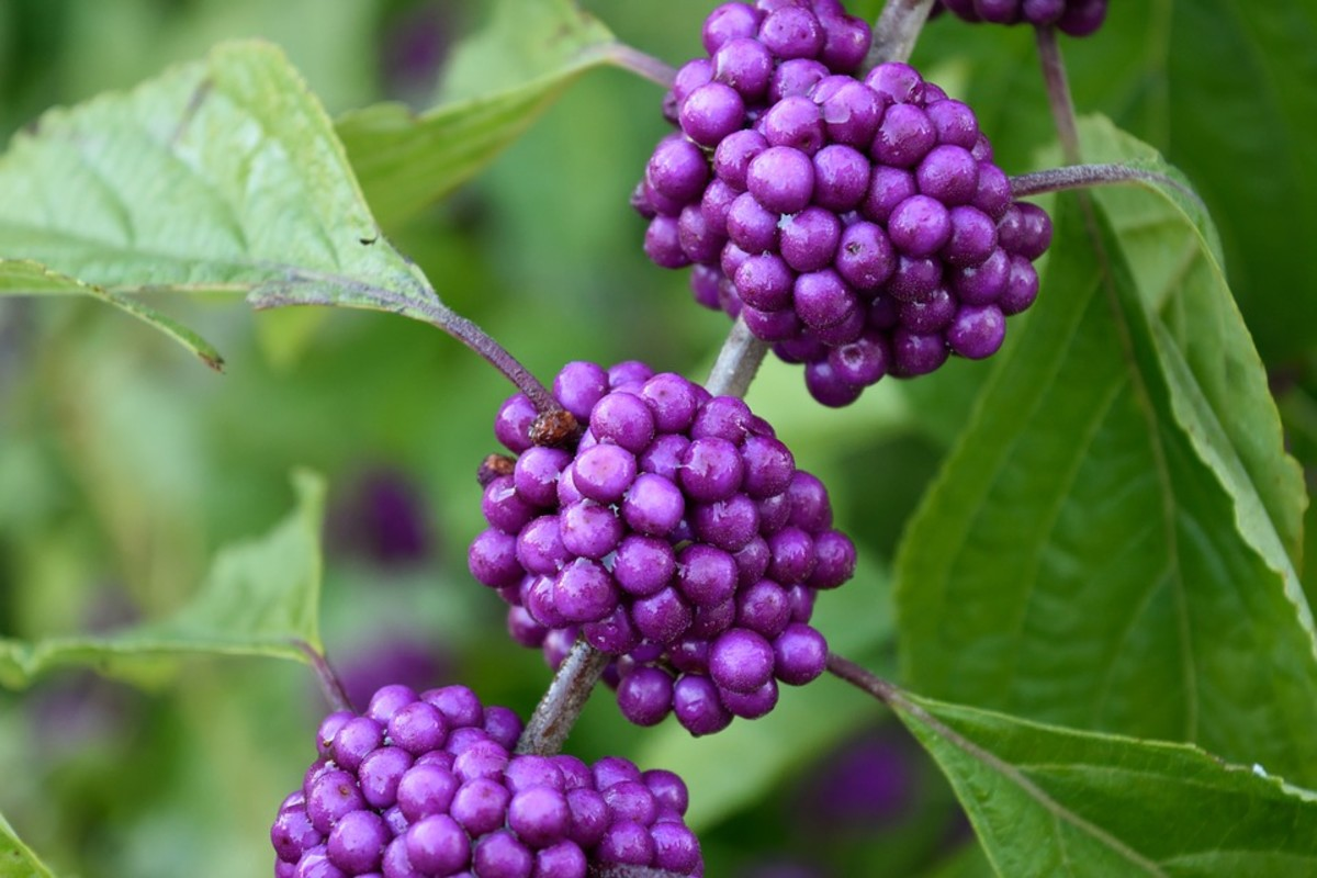 How to Grow Beautyberry (Callicarpa) for Winter Interest