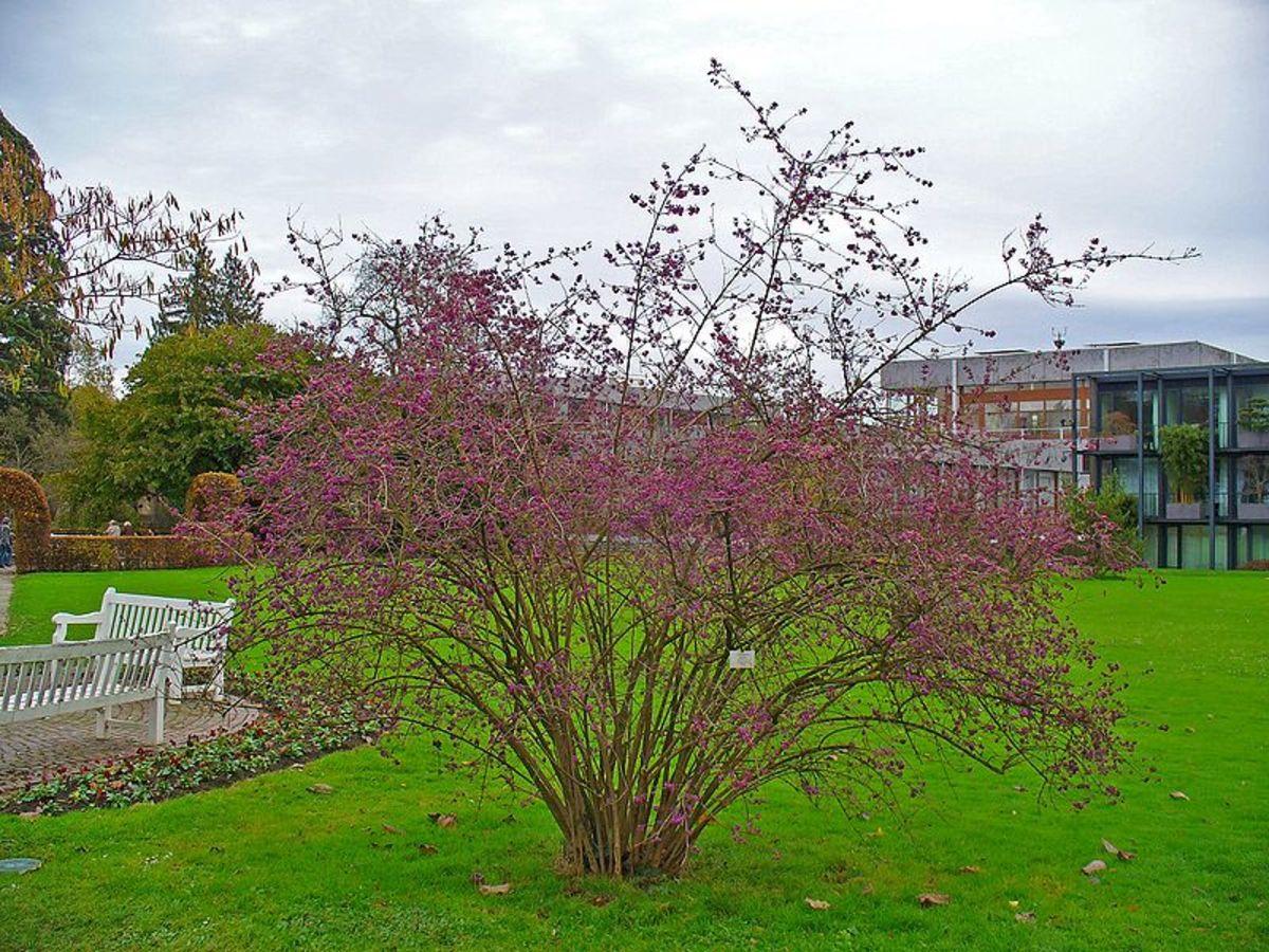 Beatuberries make beautiful specimen plants in your yard.