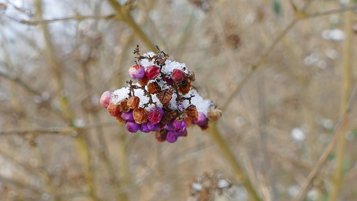 The berries last until late winter when they begin to shrivel