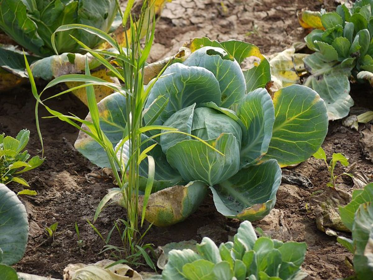 Green cabbage.  Note the smaller than usual head and close spacing.