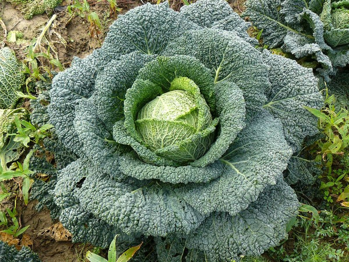 Savoy cabbage with its characteristic crinkly leaves.  They are more cold-hardy and do best grown in the fall.