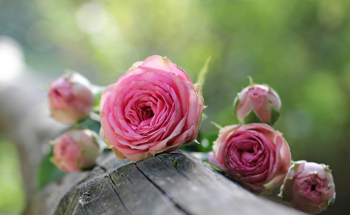 Rose Types for Your Perennial Garden