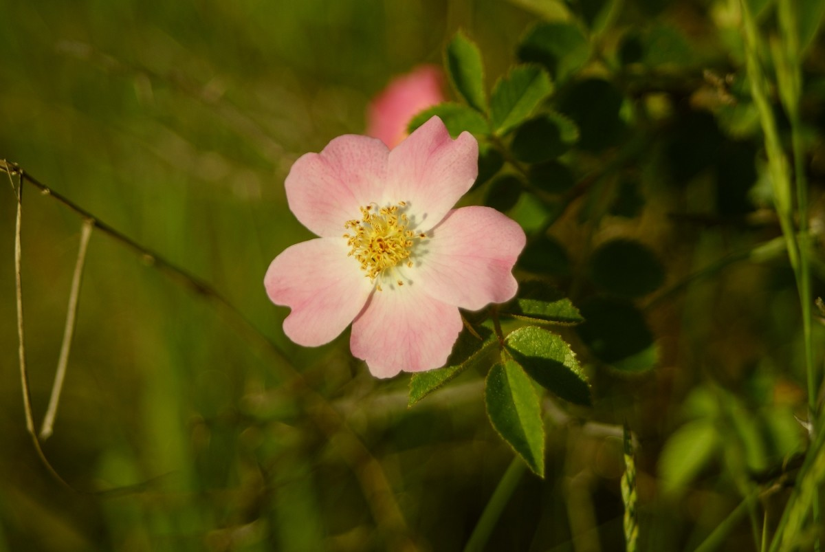 This is an example of a wild rose.  Note the simplicity of form, yet it is still a rose.  So, yes, there are roses with just five petals, and roses with a hundred petals or more!