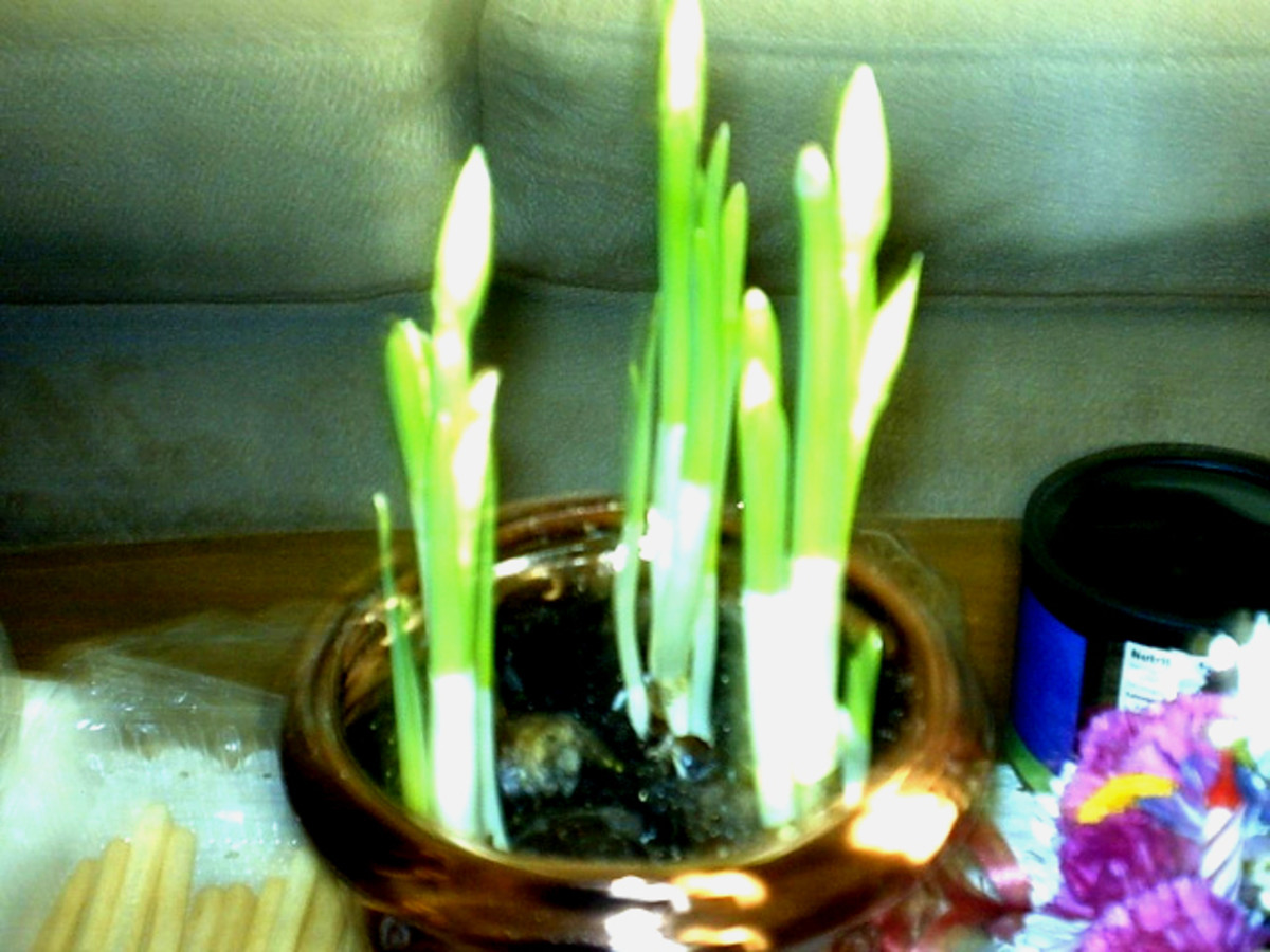 These bulbs planted in soil are sprouting and will bloom within a few weeks.