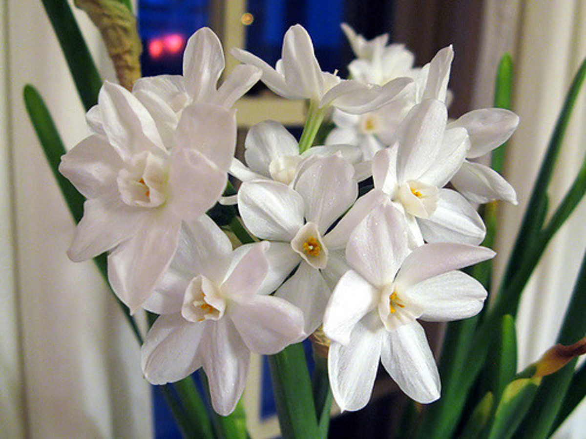 These lovely white flowers will eventually turn yellow and wilt once they've been spent.