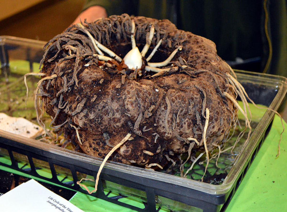 Corpse flowers grow from underground corms which can weigh as much as 100 pounds.