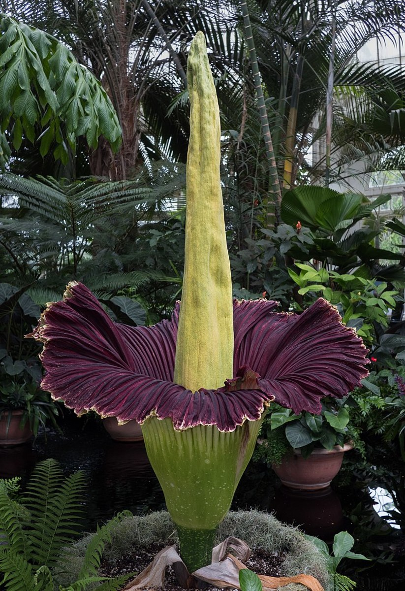 How to Grow a Corpse Flower