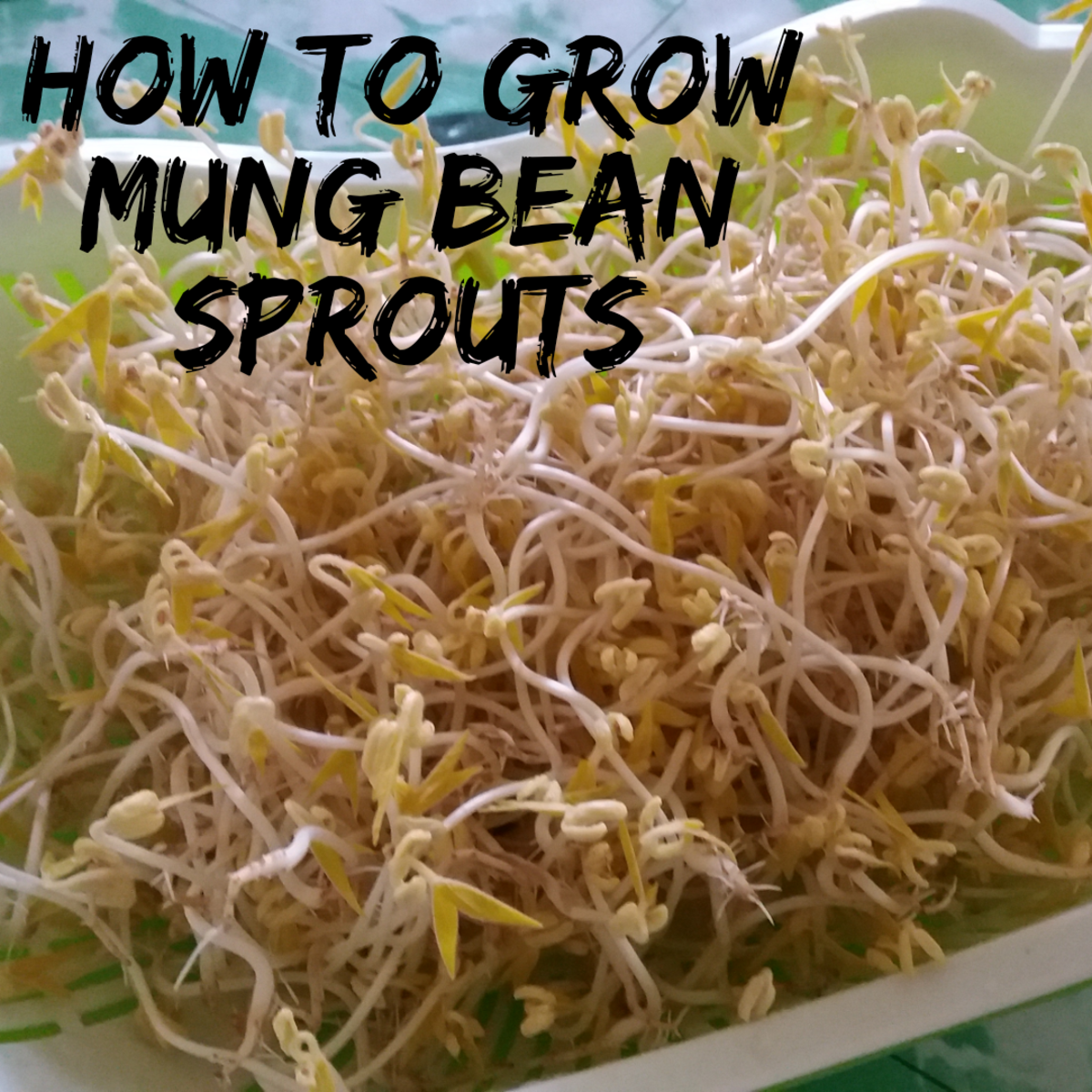 Learn how to grow mung bean spouts!