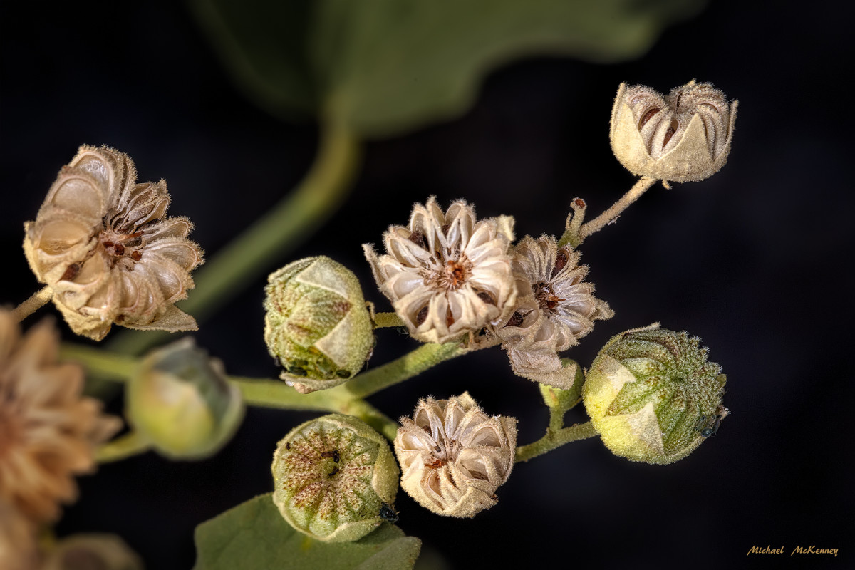 More flowers have gone to seed.  To harvest my seeds, I shook them from the pods when they turned a mature, dark color in the seed pods that were widely opened.  Once the seeds were harvested, they were stored in a cool, dry place.