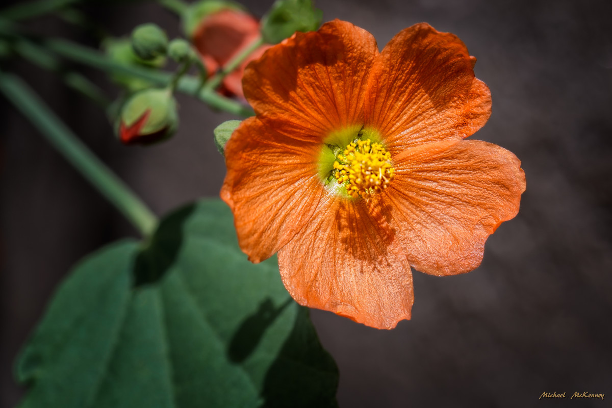 how-to-grow-a-drought-resistant-desert-globemallow-plant