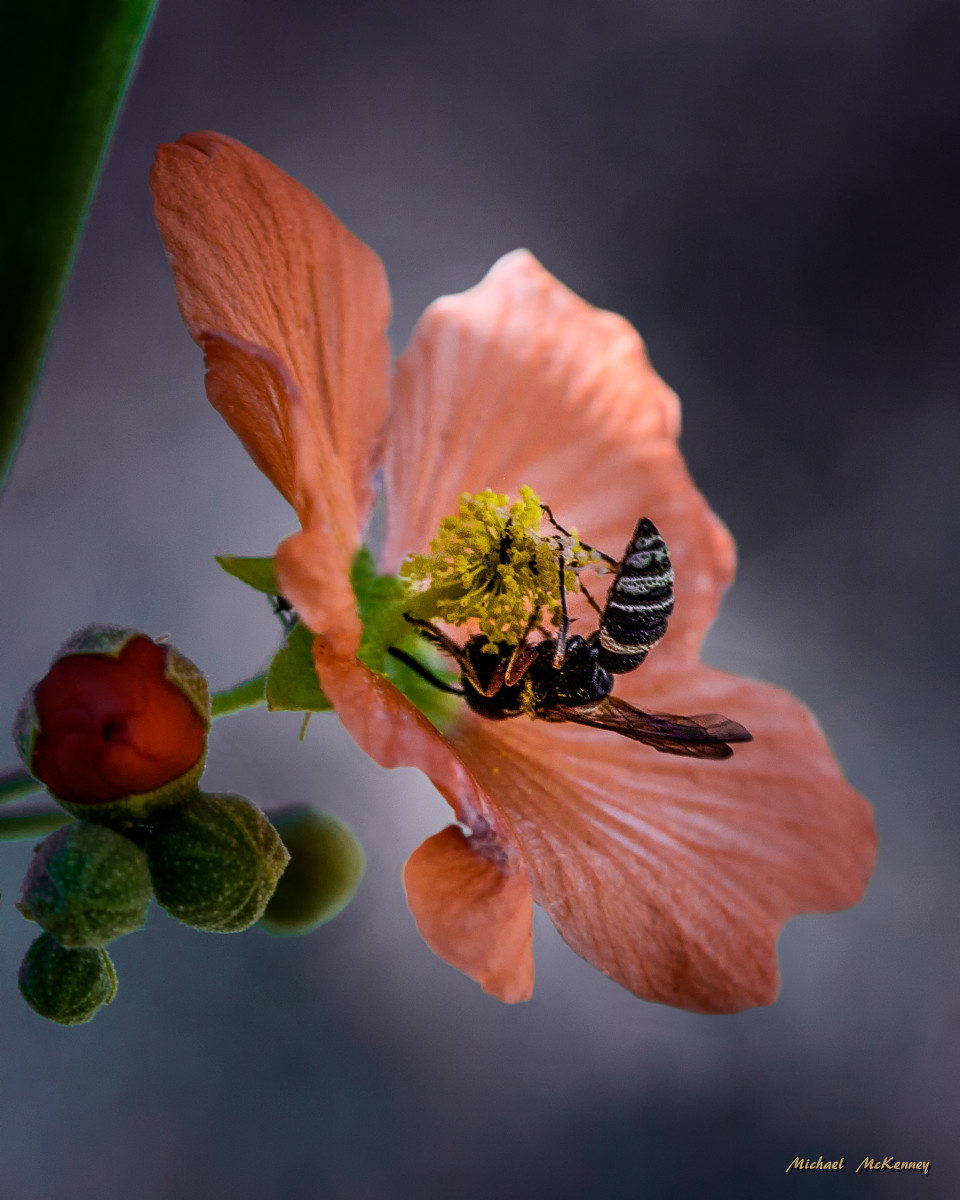 Desert Globemallow Plant With a Happy Bee
