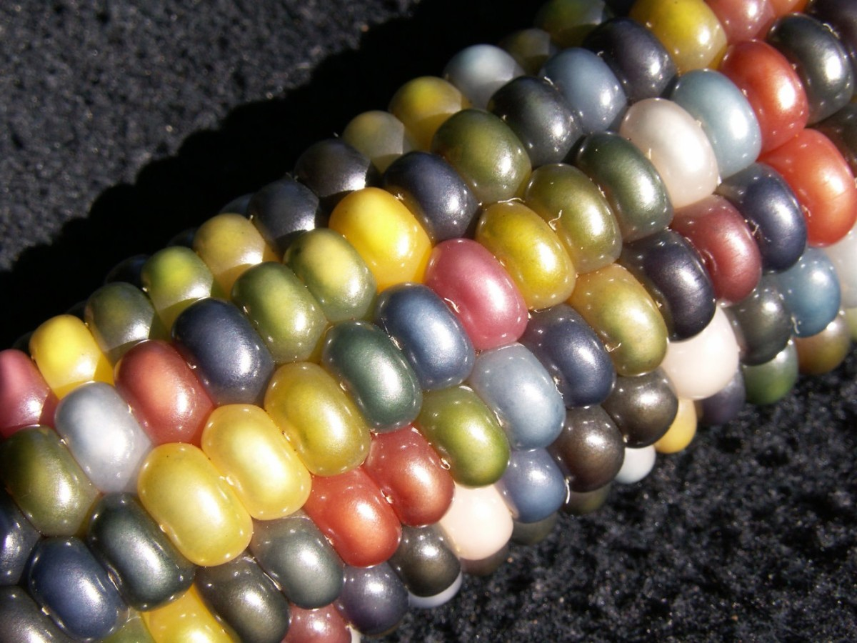 Glass Gem corn.