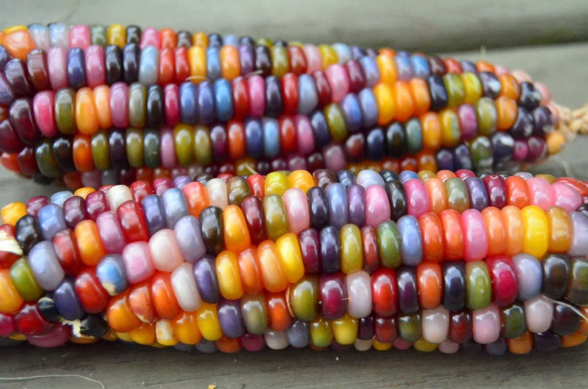 There's something very warm and comforting about beautifully colored corn as the weather begins to turn chilly and leaves begin to fall.