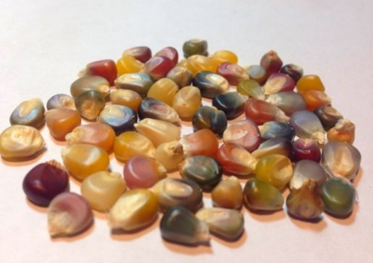 """When fully dried, the kernels will be """"hard as flint."""""""