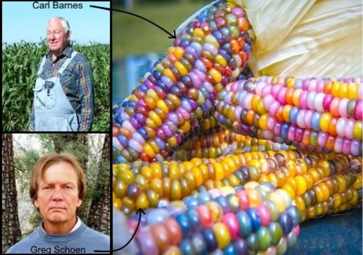 Greg Schoen began to breed Carl Barnes' heritage rainbow corns (from Oklahoma) with heritage corns local to his area (New Mexico.) The combination produced Glass Gem corn.