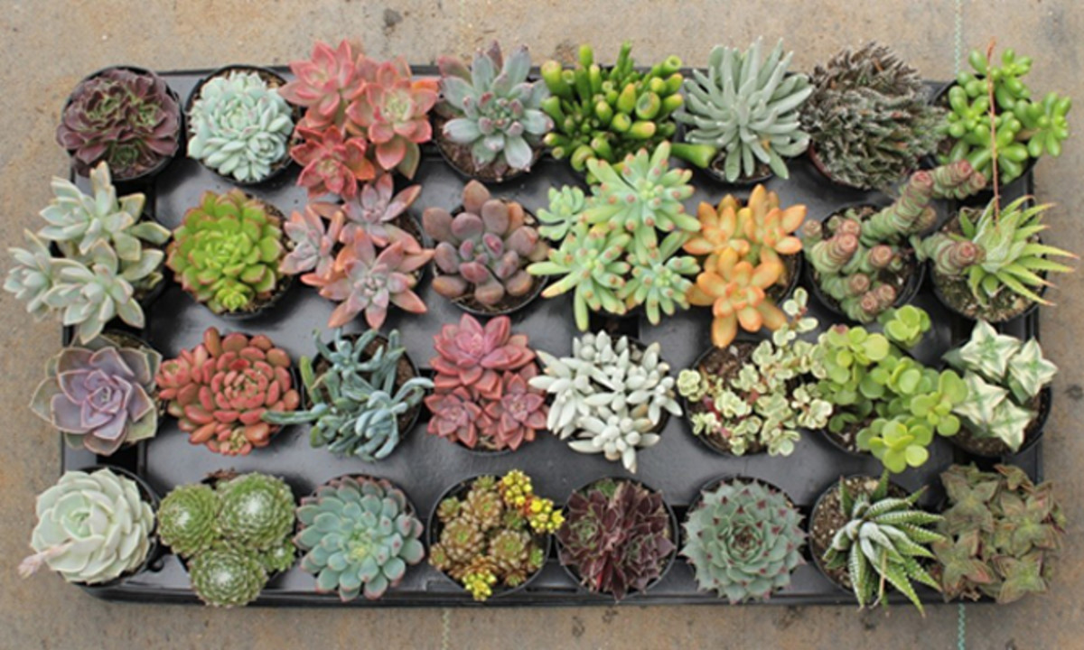 Caring for Succulents During the Winter
